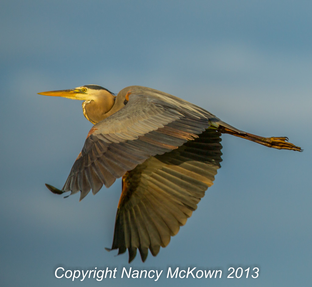 Photograph of Great Blue Heron in Flight