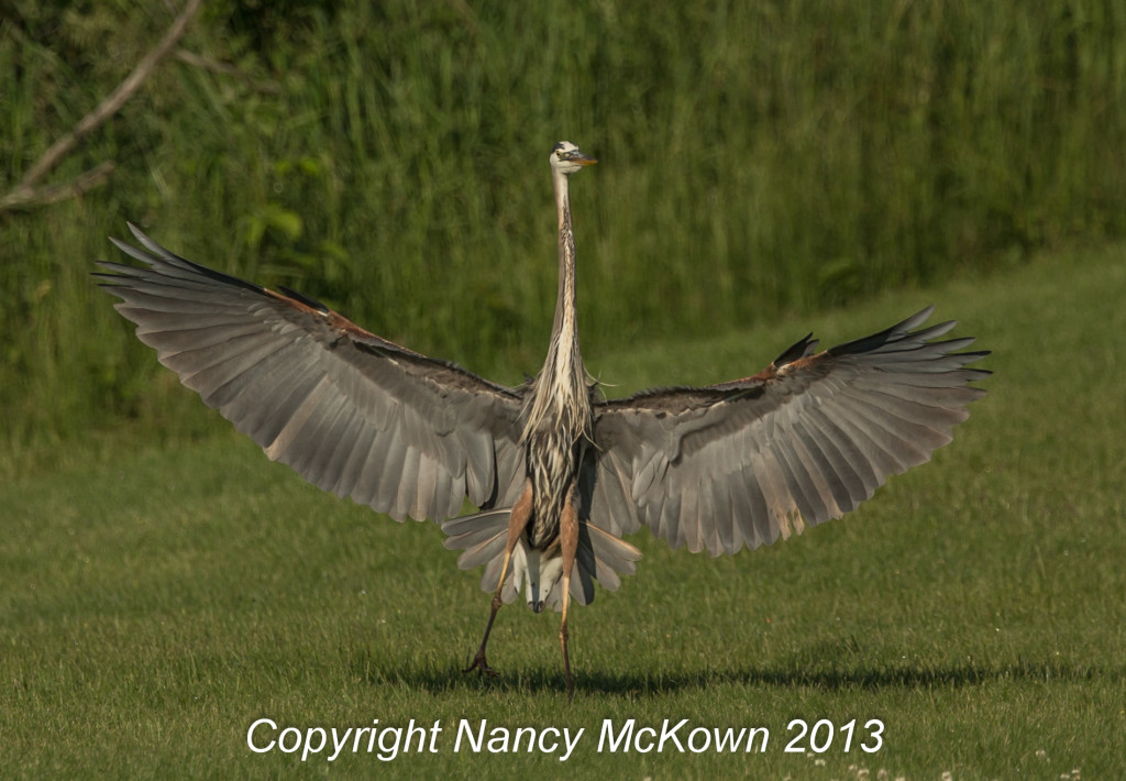 Photograph of the Great Blue Heron takeoff