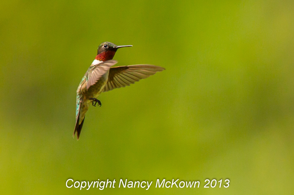 Photograph of Hovering Male Hummingbird