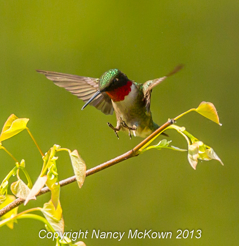 Photo of Hummingbird Coming in for a Landing