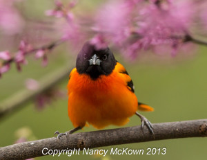 Oriole bird photo