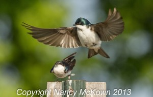 Photograph of Tree Swallows Mating