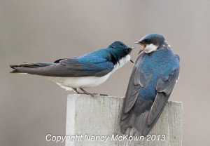 2 Tree Swallows Bickering
