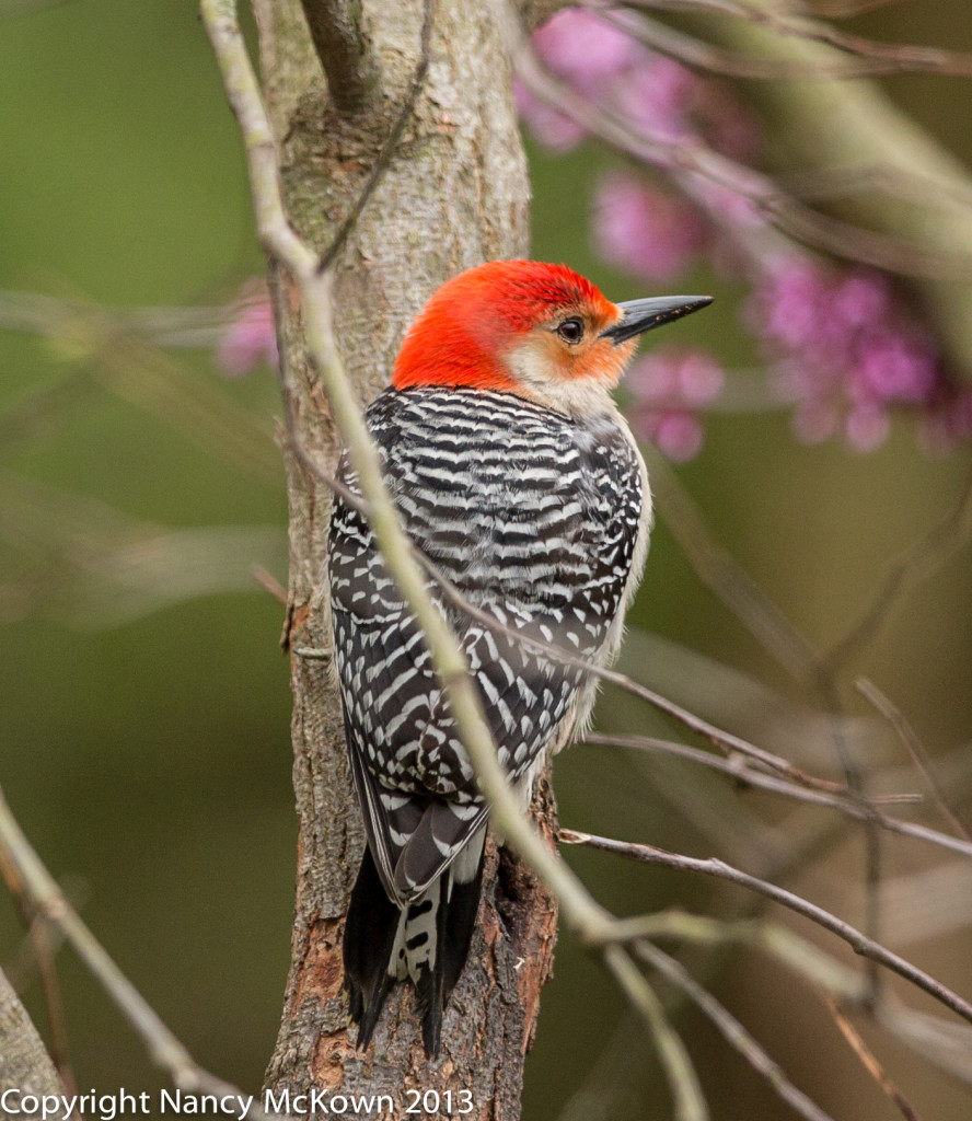 Photo of Red Bellied Male Woodpecker