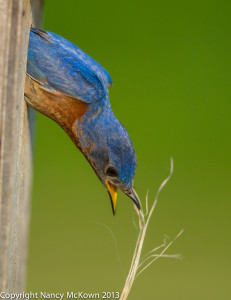 Male BlueBird Cleaning Nest