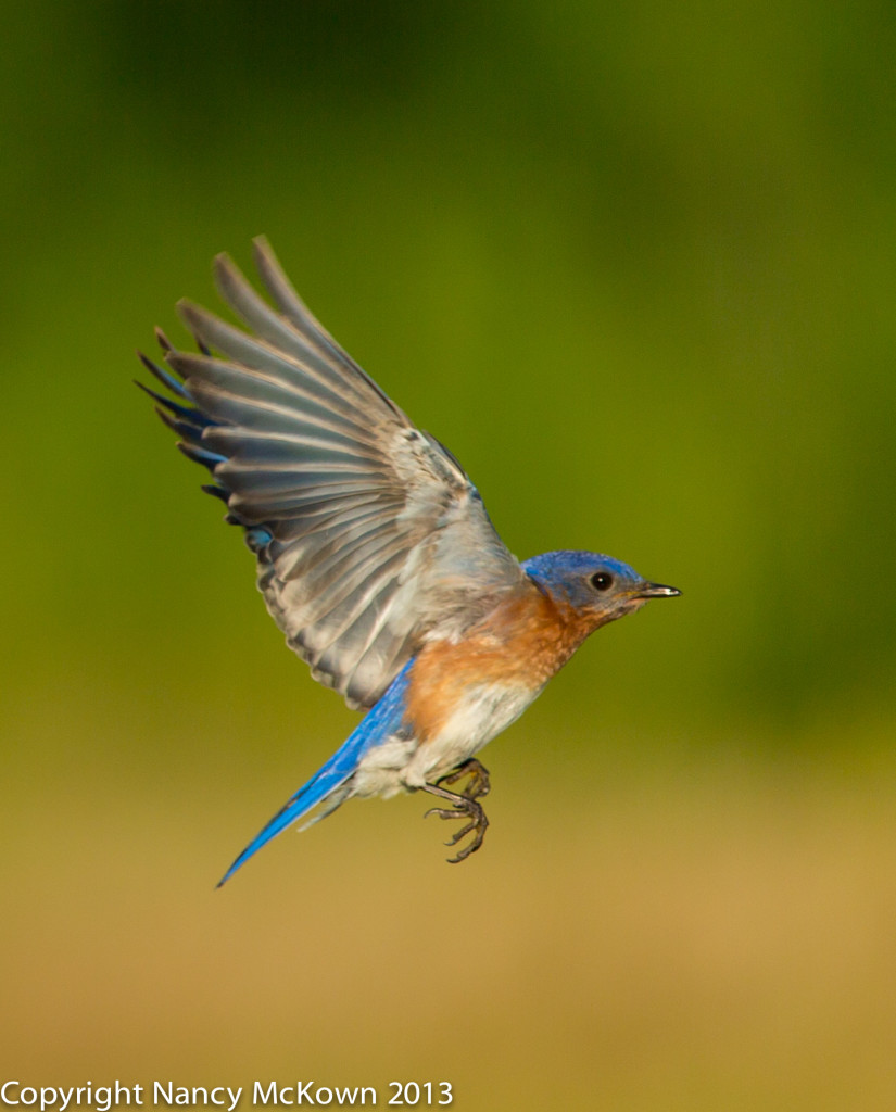 Photograph of Blue Bird in Flight