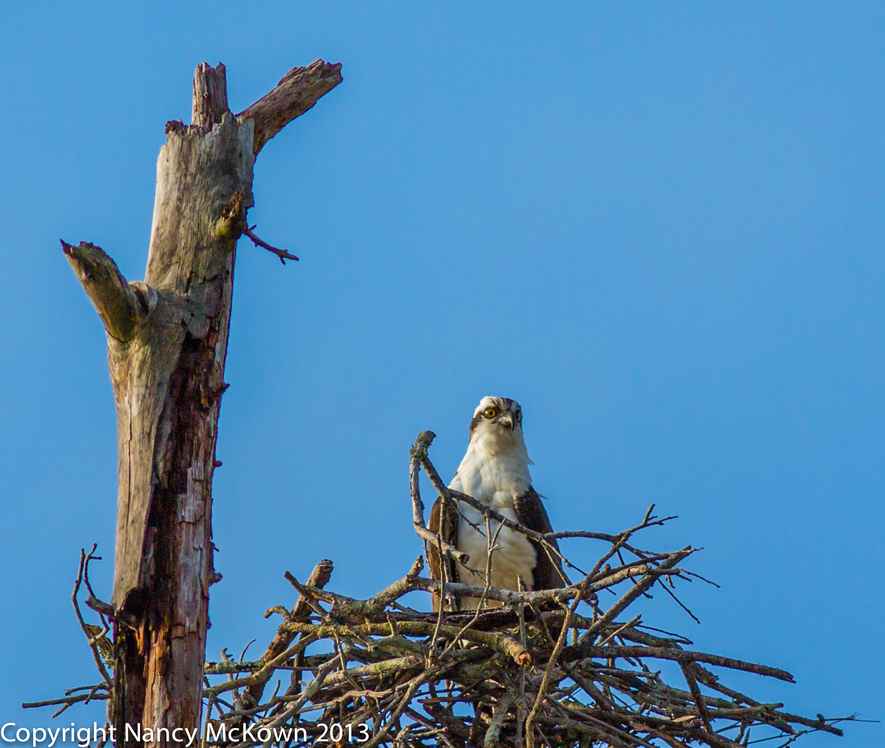 Photograph of Osprey Sitting in Nest