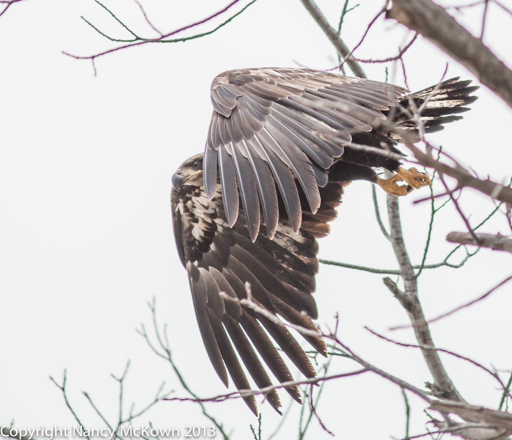 Immature Eagle Taking Off
