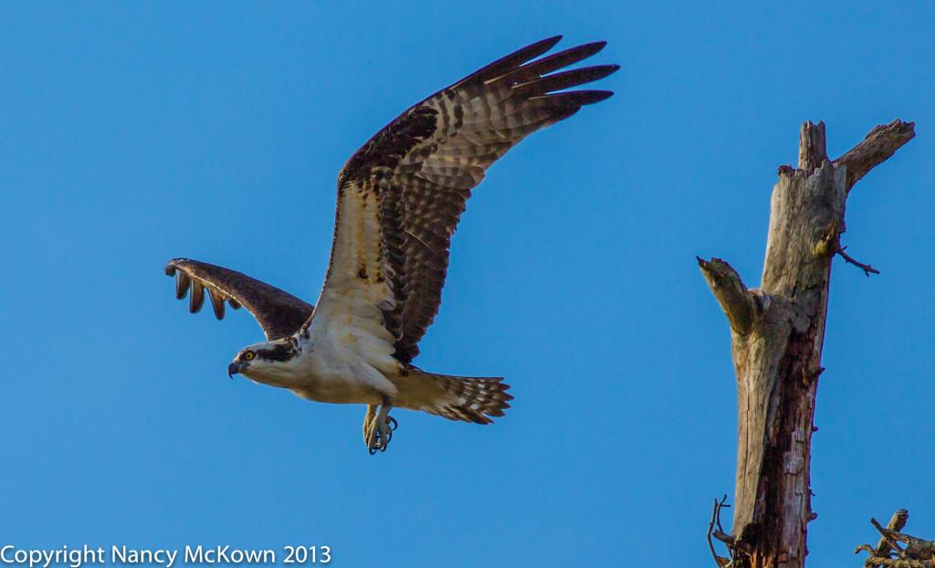 Photography of Osprey in Flight