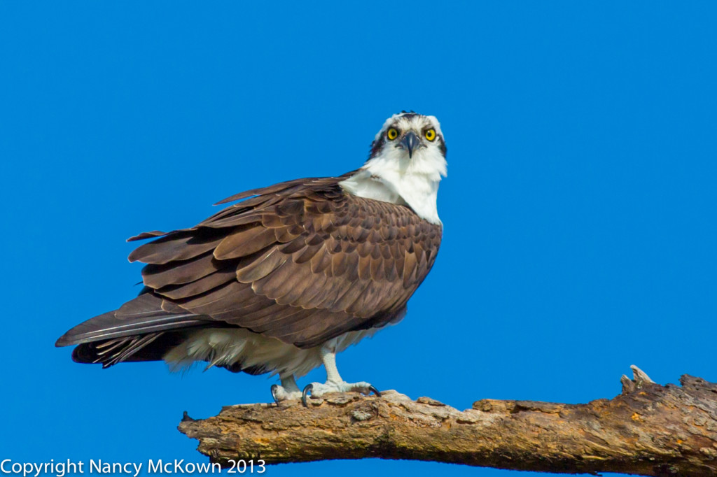 Perched Osprey Photo