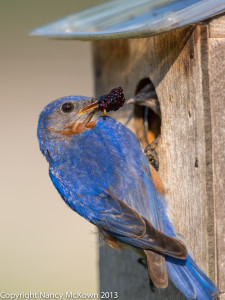 Photograph of Male Bluebird about to Feed Fruit to Baby