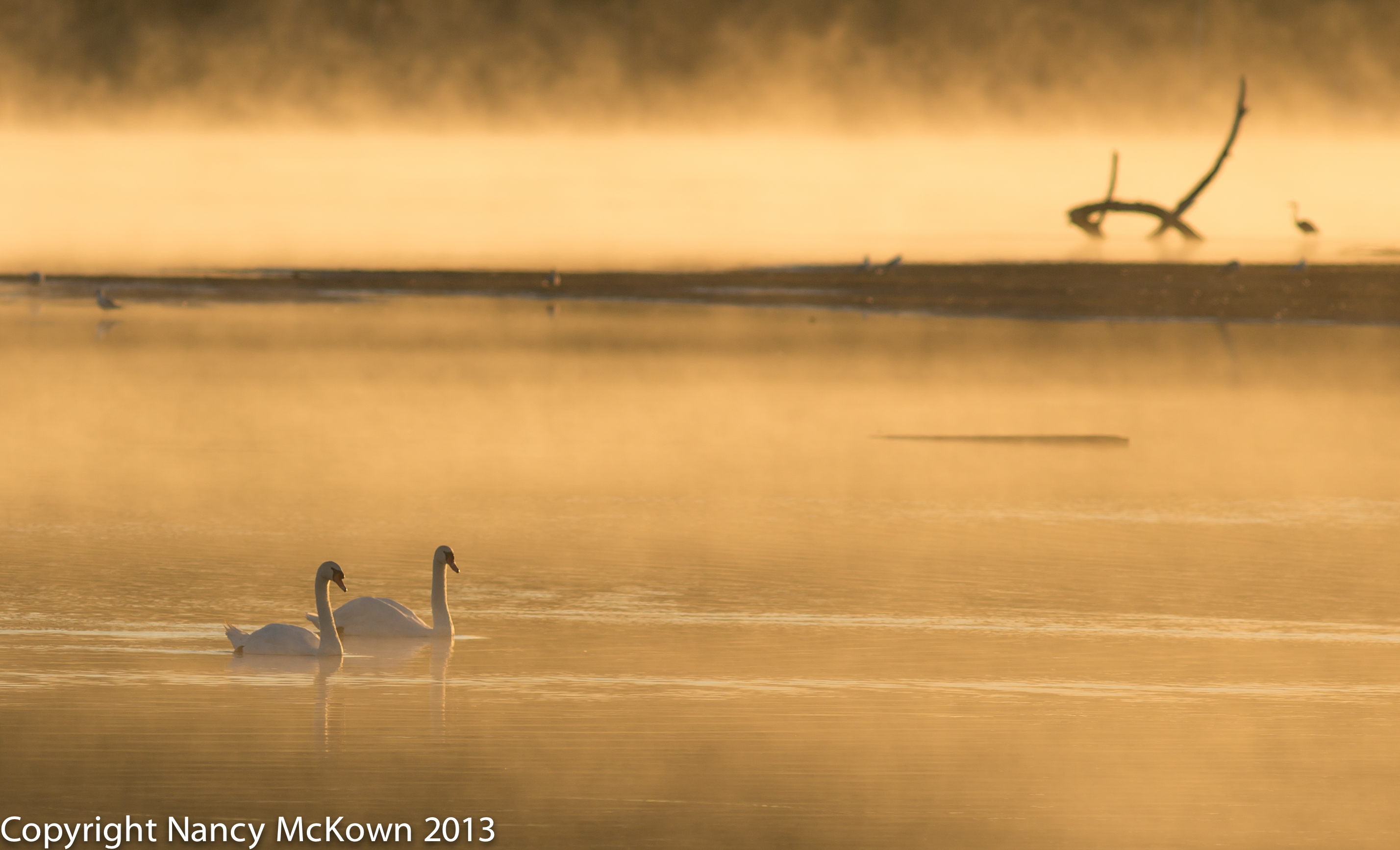 Photograph of Swans on Lake during Golden Hour