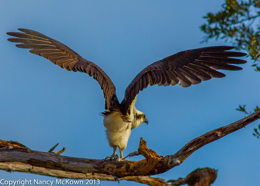 Photograph of Osprey Ready to Take Flight
