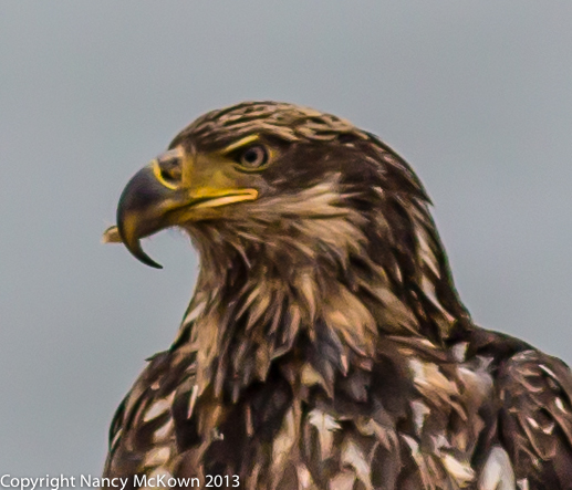 Photograph of Immature Bald Eagle with Beak Deformity