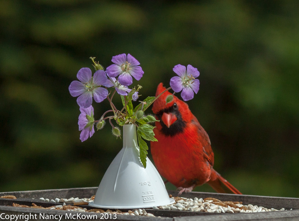Male Cardinal Posing with Flowers