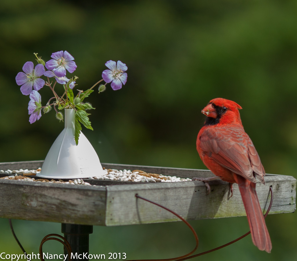 Male Cardinal Eating at Feeder