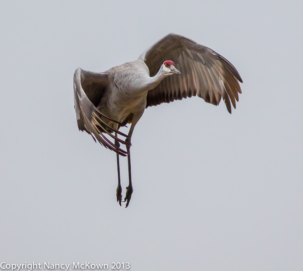 Sandhill Crane in Flight and About to Land