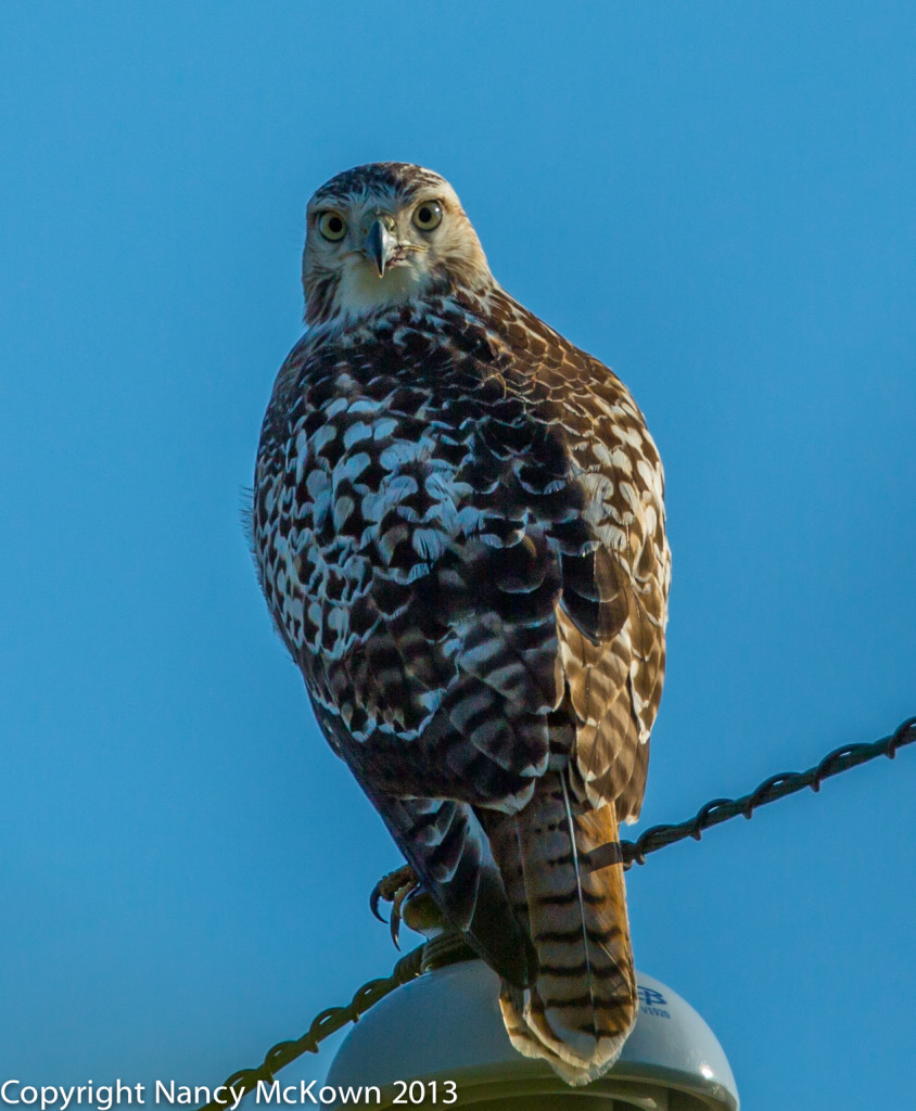 Photograph of Red Tailed Hawk