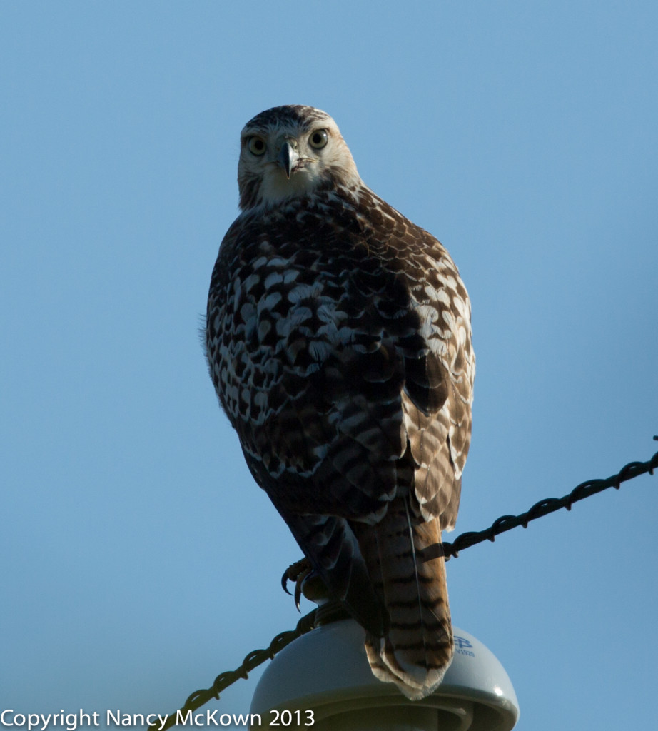 Photo of Red Tail Hawk - Before Processing