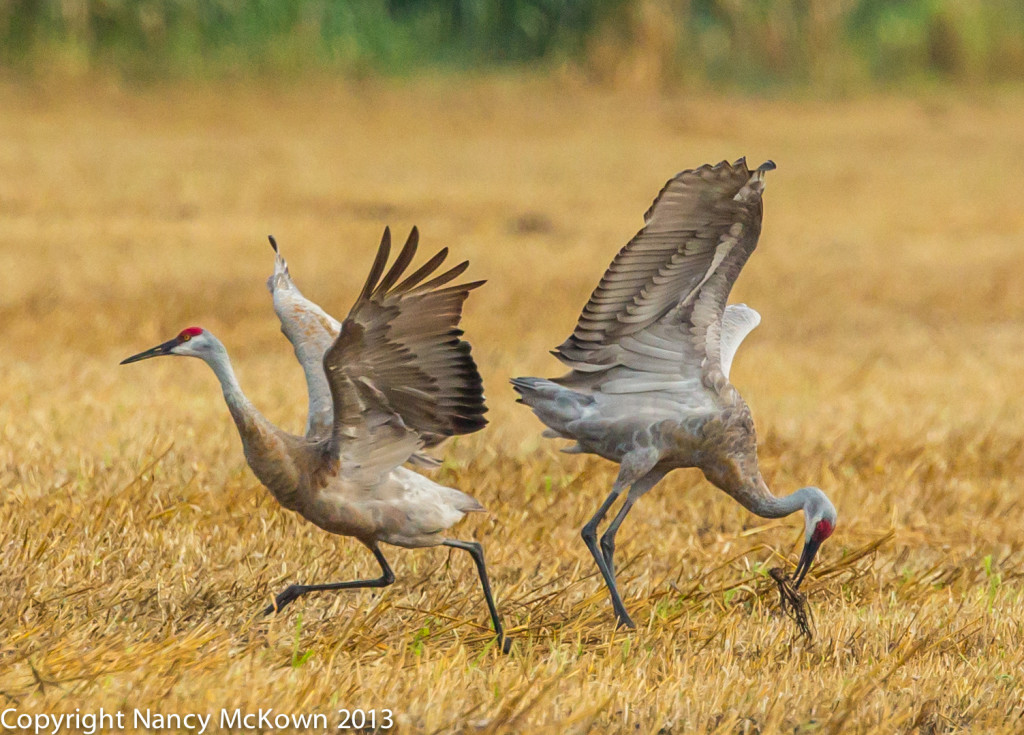 Photograph of Sandhill Cranes Dancing