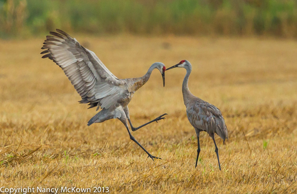 Photo of Sandhill Cranes Dancing