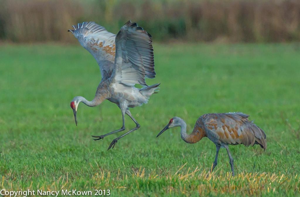 Photo of Sandhill Crane Dancing