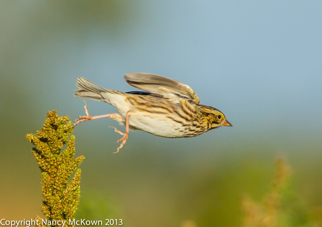 Photograph of Savannah Sparrow