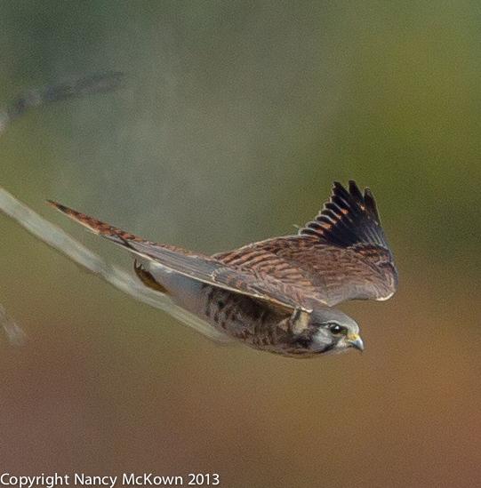 Photo of Female Kestrel in Flight