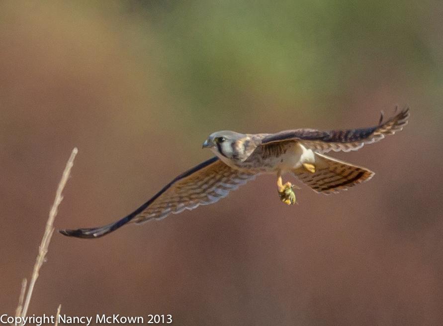 Photo of a Female American Kestrel in Flight