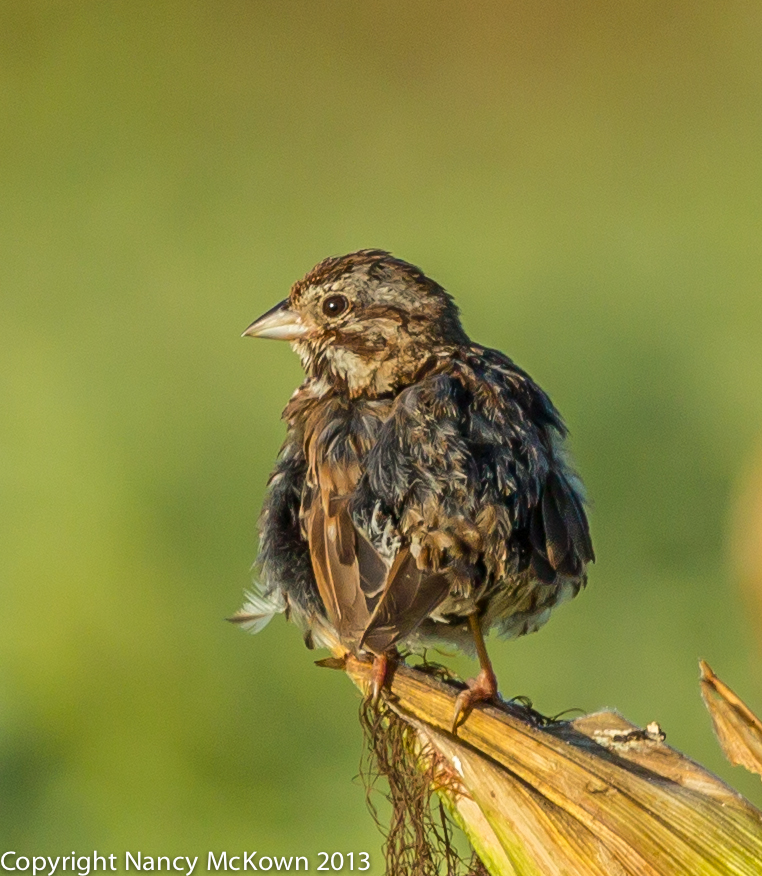 Photograph of Common Song Sparrow