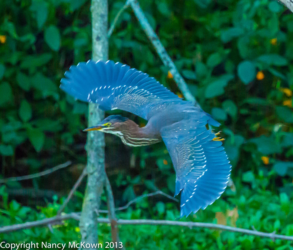 Photograph of Green Heron in Flight