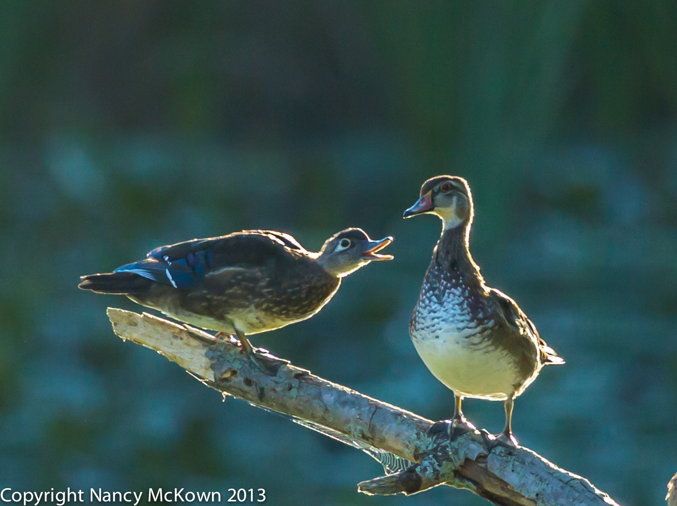 Photograph of Male and Female Wood Duck