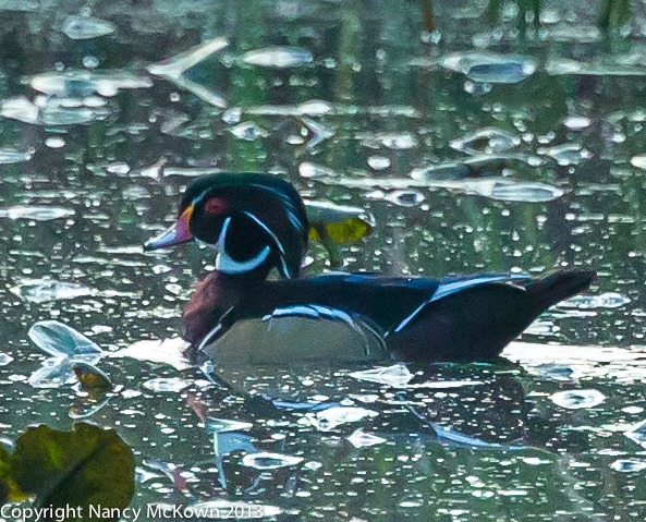 Photograph of Male Wood Duck in Full Plumage