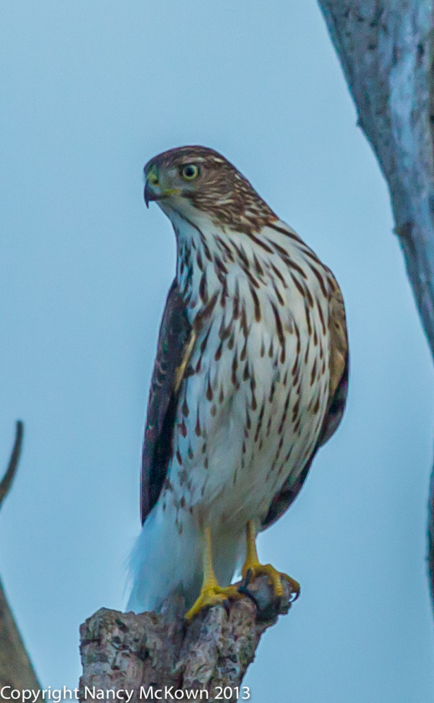 Photograph of a Cooper's Hawk