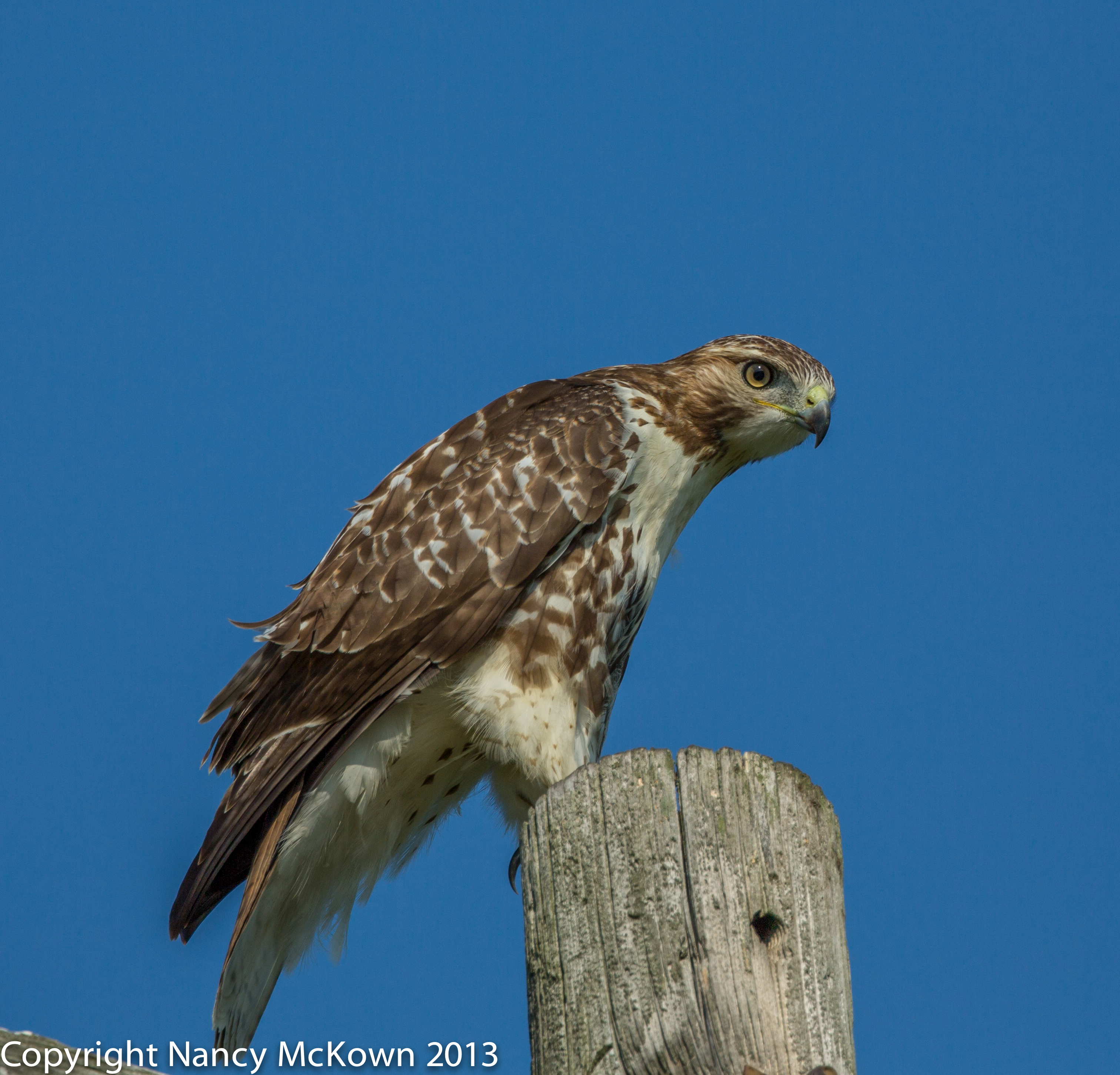 How to Photograph Red Tailed Hawk