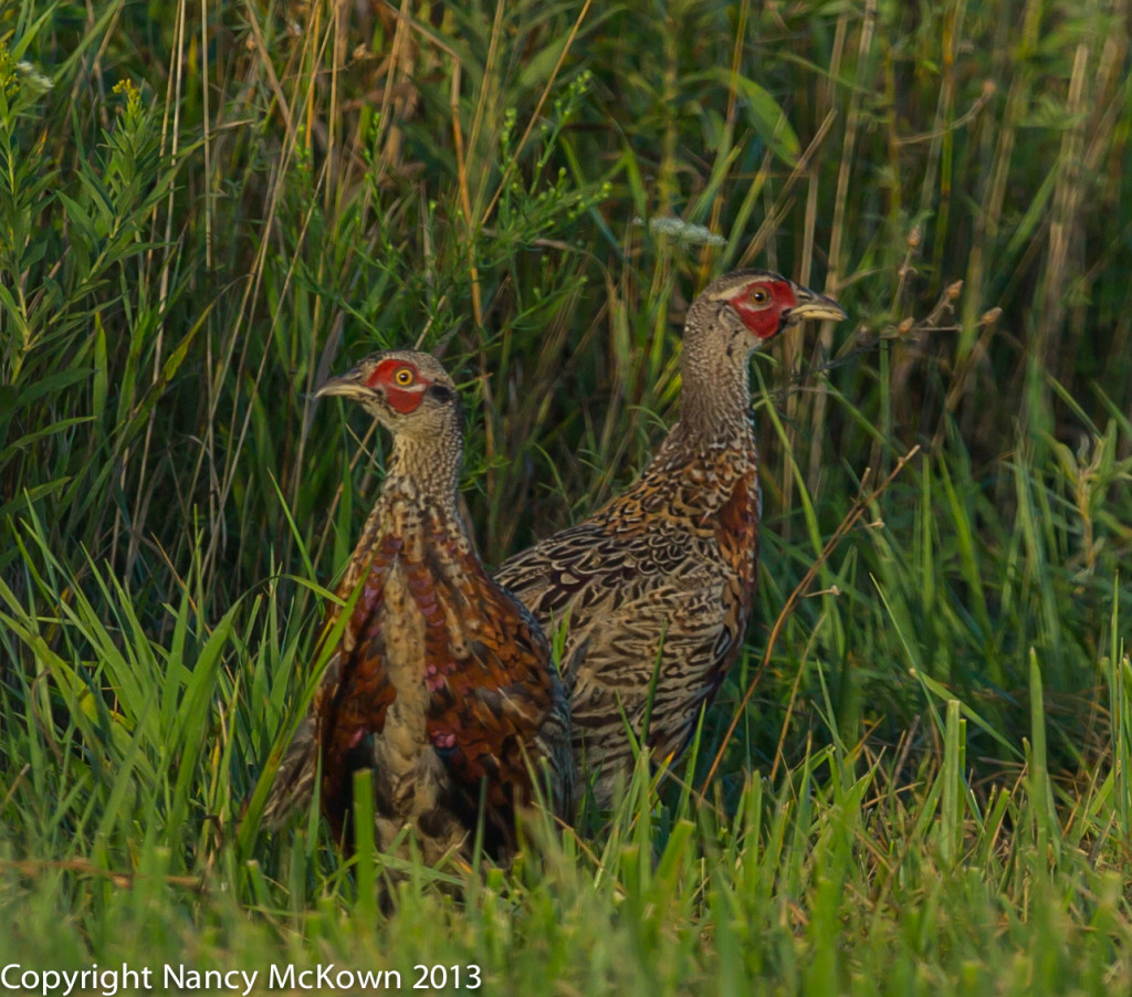 Photo of Two Immature Male Ring Neck Pheasants