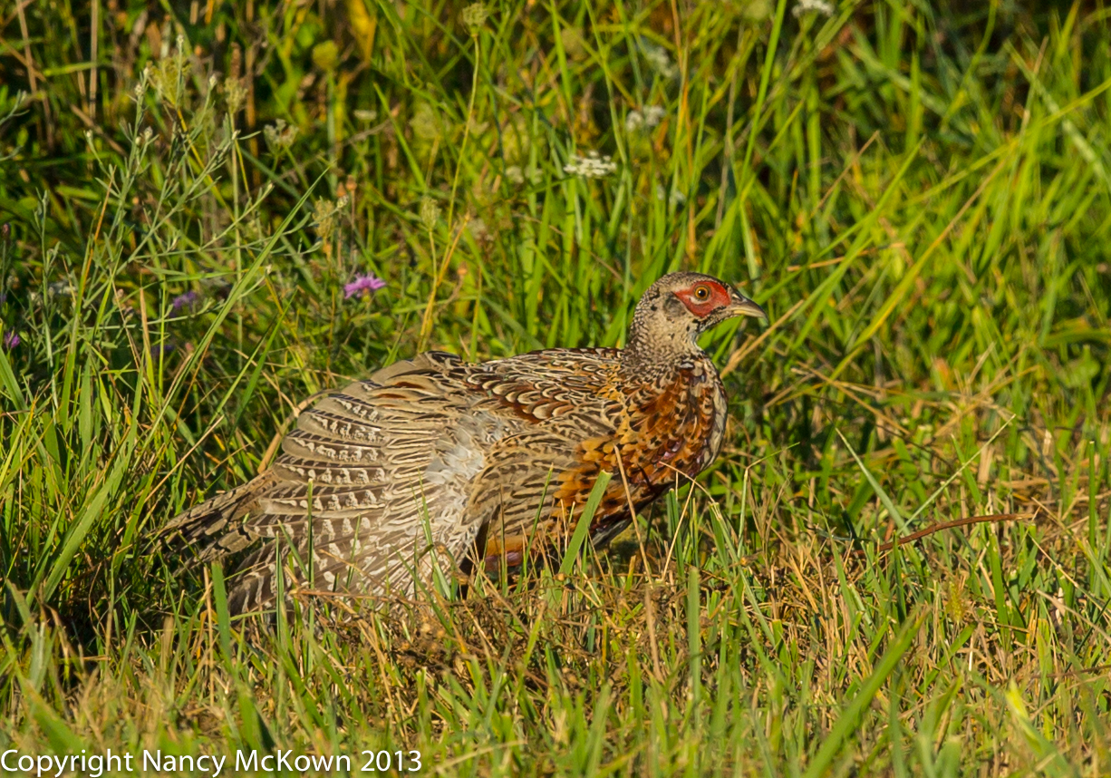 Photo of Immature Male Ring Neck Pheasant