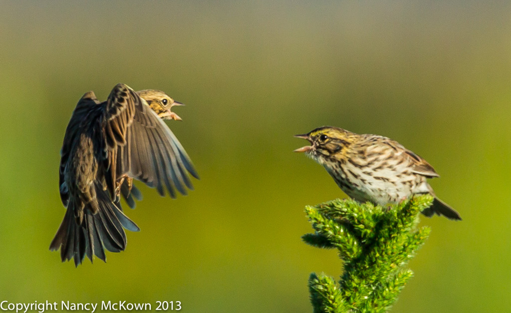 Photo of Beautiful Song Birds Squabbling- Savannah Sparrows
