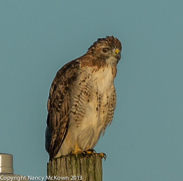 Photo of Red Tailed Hawk