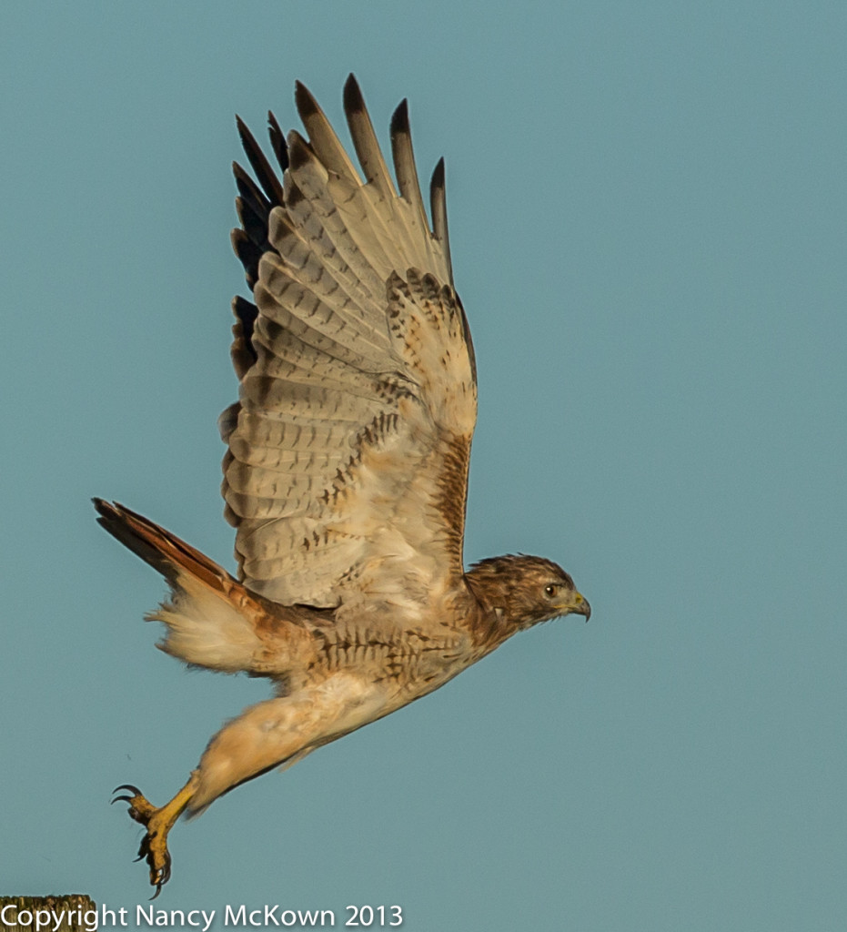 Photo of Red Tailed Hawk at Liftoff