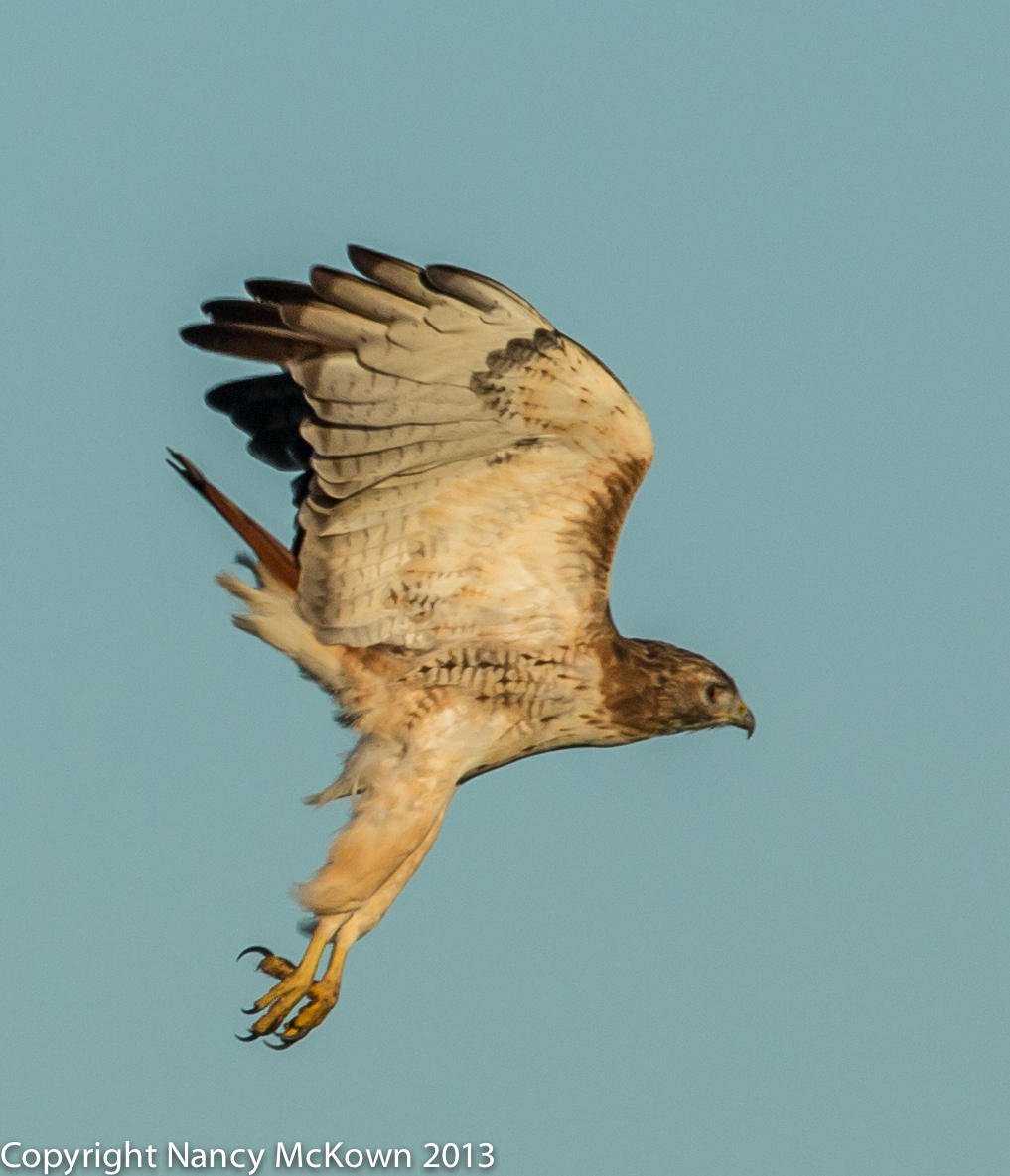 Photo of Red Tailed Hawk Gaining Altitude