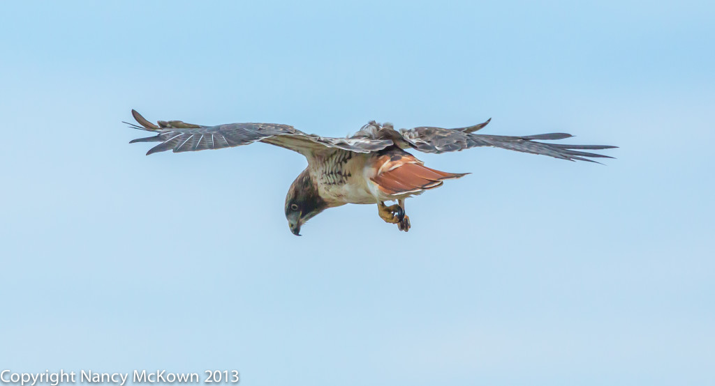 Photo of Red Tailed Hawk Hovering in High Wind