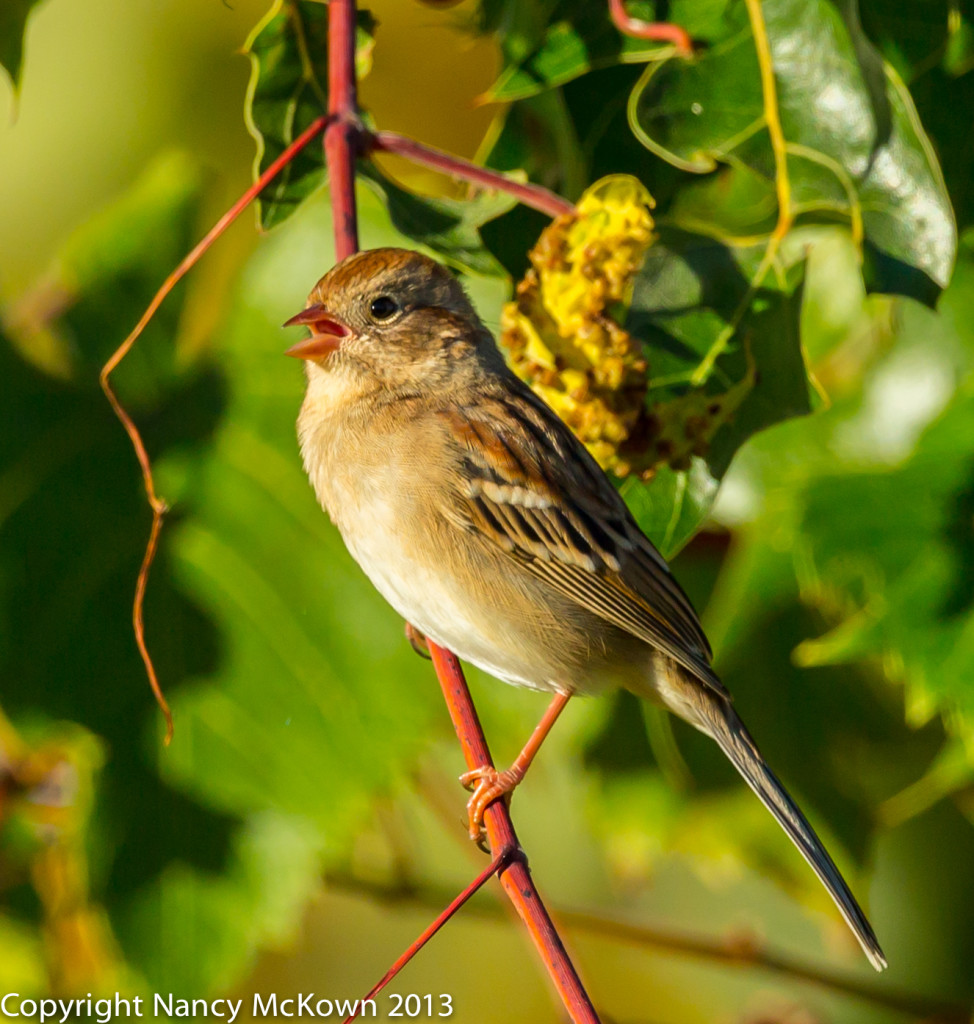 Photo of a Field Sparrow