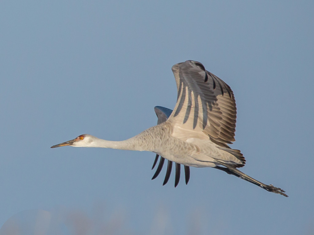 Photograph of Sandhill Crane