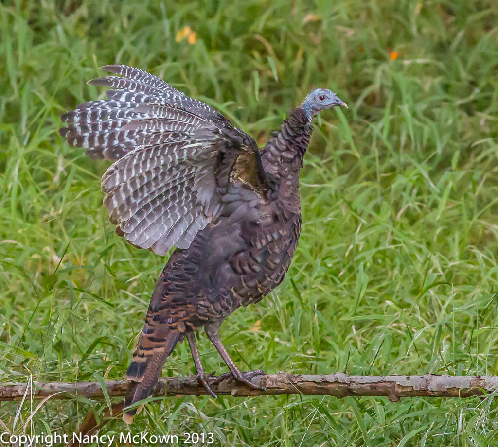 Photo of Wild Turkey