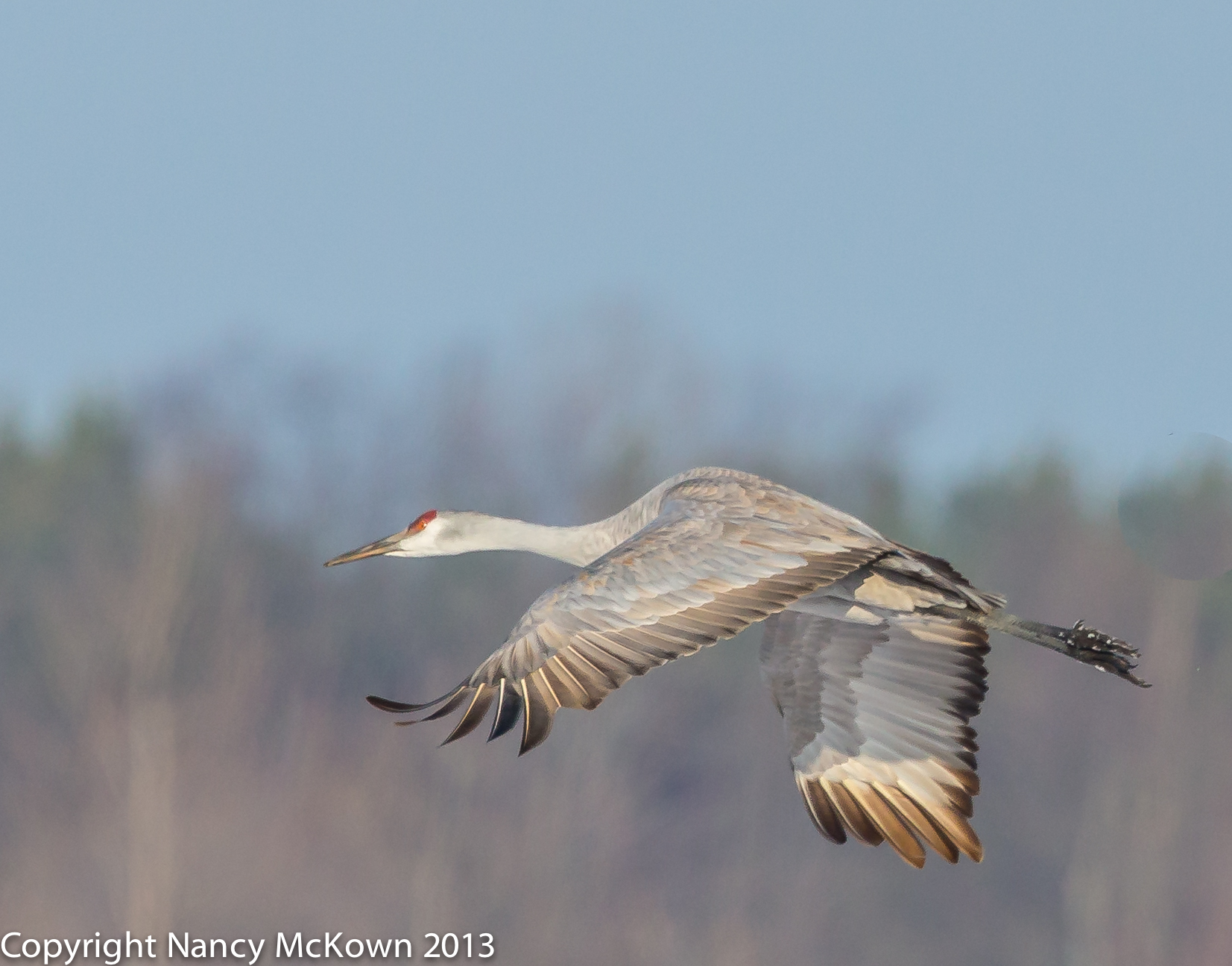 Photo of Sandhill Crane in Flight