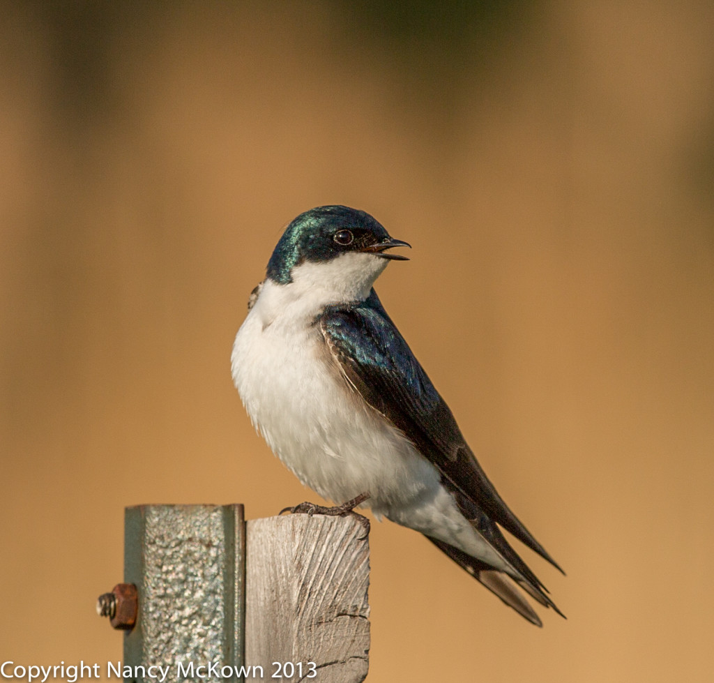 Photo of Tree Swallow
