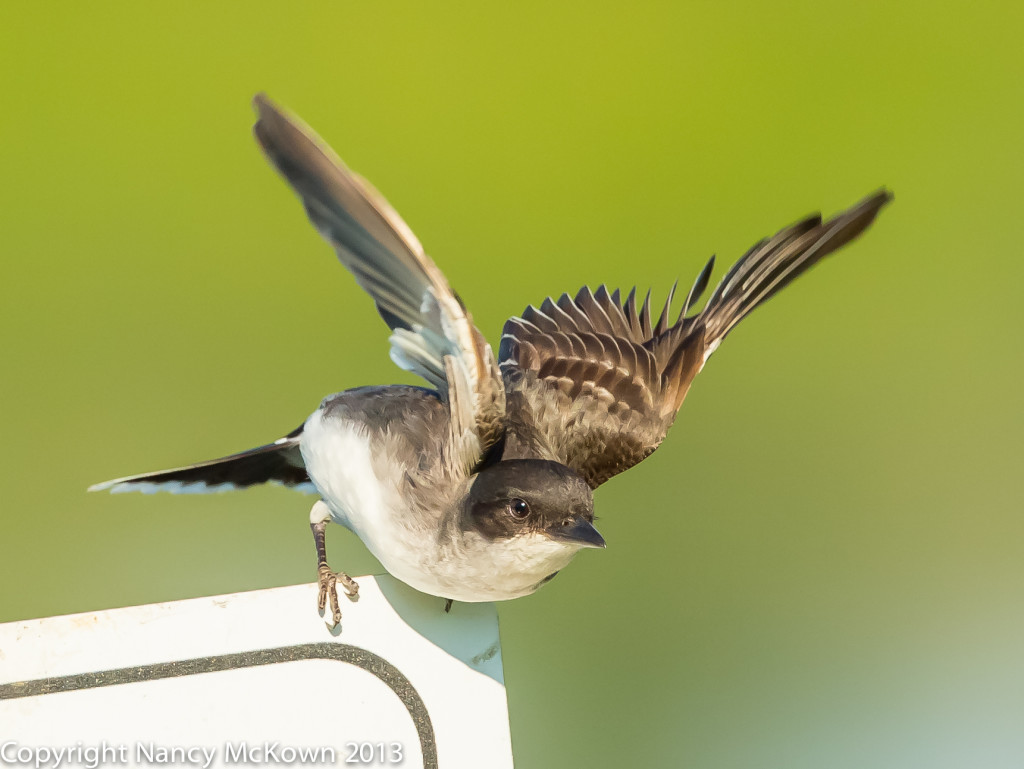 Photo of Tree Swallow Getting Ready to Fly