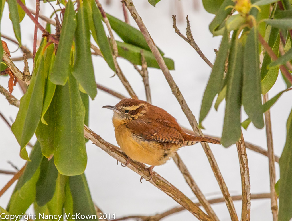 Photograph of Carolina Wren