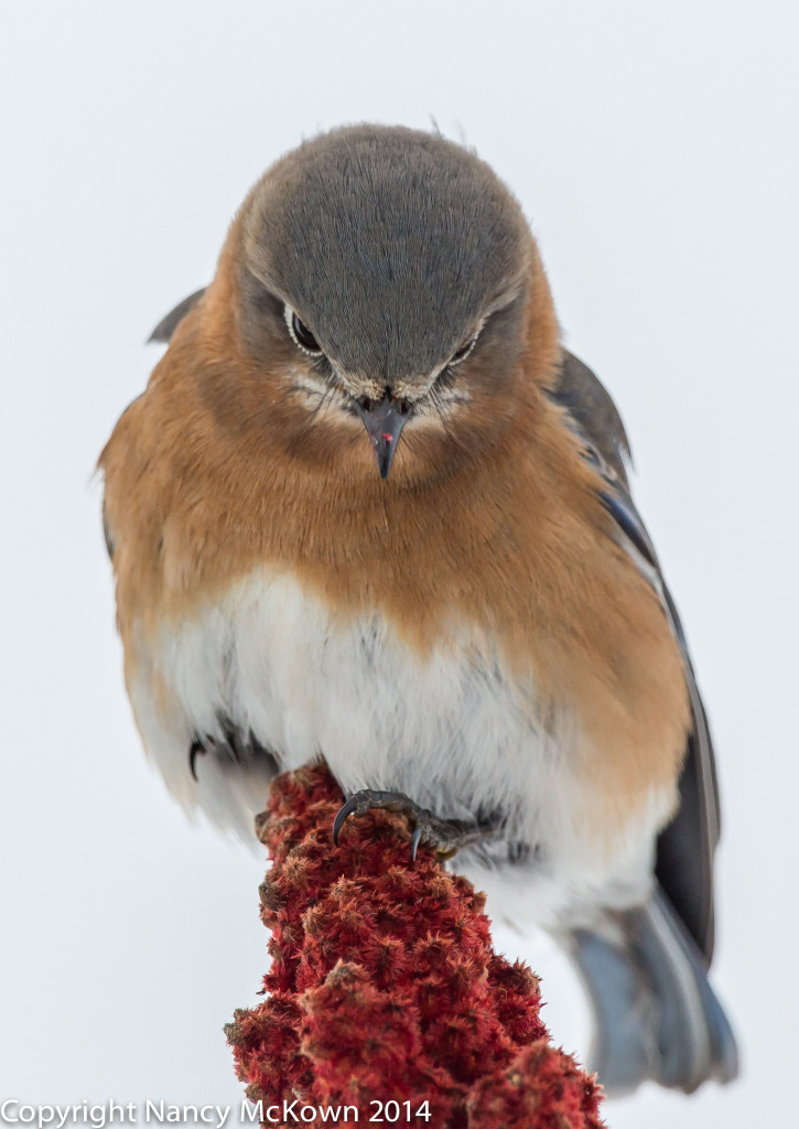 Photo of Eastern Bluebird on Sumac